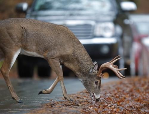 November Is Peak Deer-Vehicle Collision Season in Michigan